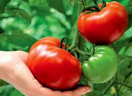 Как вырастить помидоры на грядке