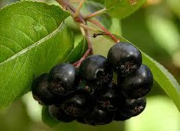 Ягоды черноплодной рябины применение