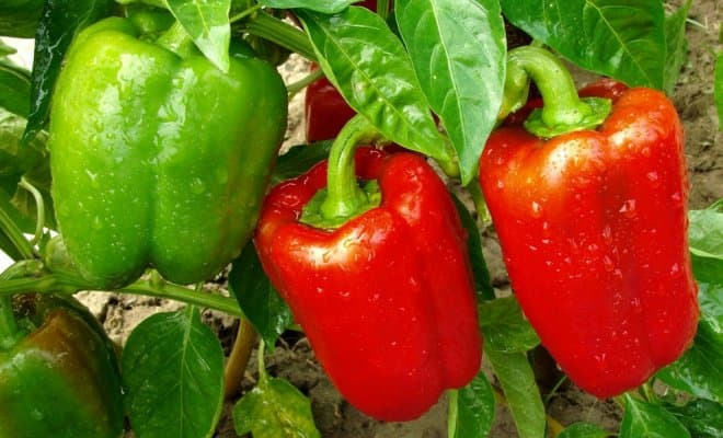Польза и вред болгарского сладкого перца, выбираем и вкусно готовим