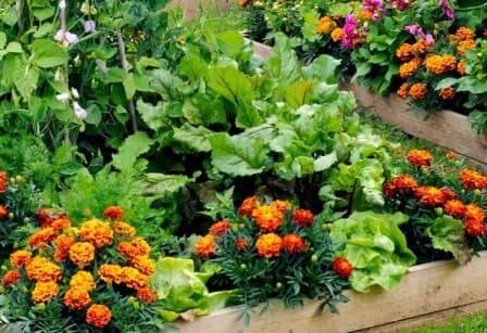 barhatsi-poleznie-cveti