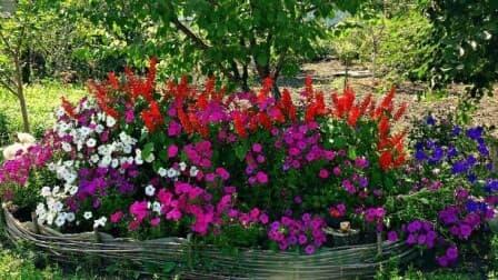 Petuniya-poleznie-cveti