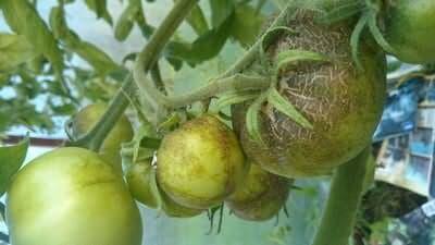 buraja-pjatnistost-tomatov