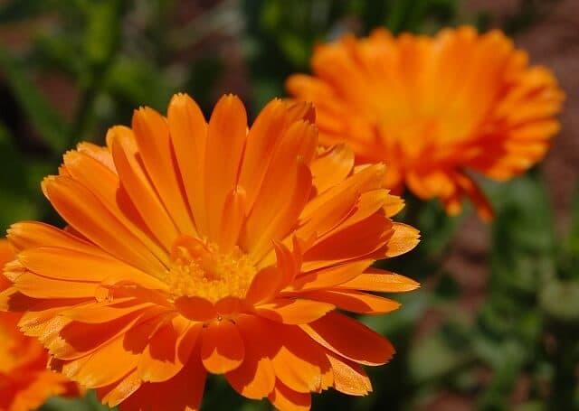 kalendula-poleznie-cveti