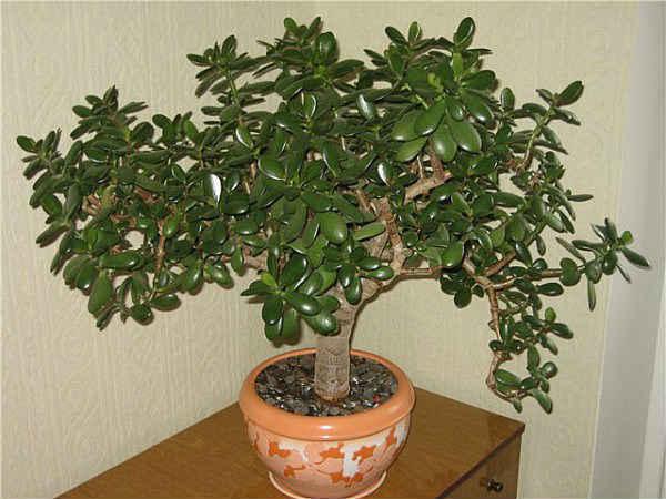 Как вырастить денежное дерево, уход в домашних условиях, цветение