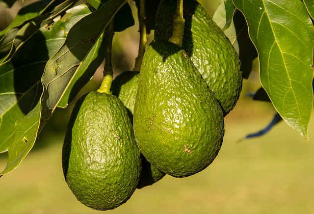 avokado-iz-kostochki-v-domashnih-usloviyah