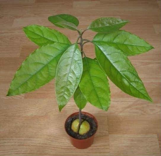 Уход за авокадо в домашних условиях 115