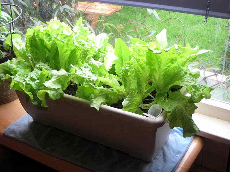 kak-vyrastit-salat-na-podokonnike