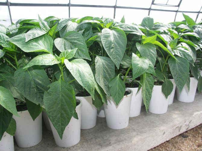 Как вырастить здоровую рассаду перца в домашних условиях