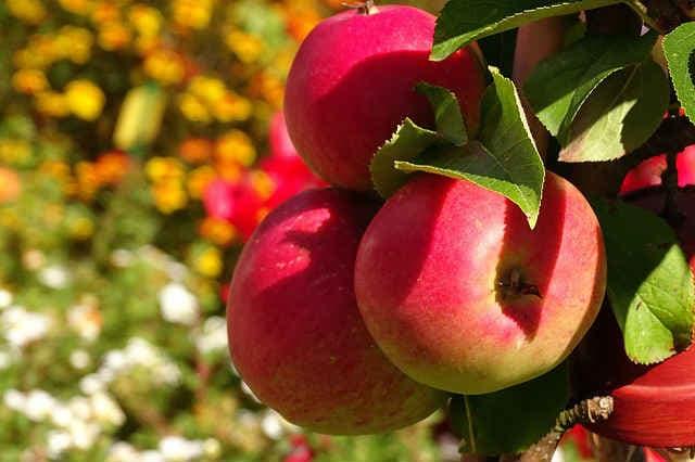 Чем полезны яблоки для здоровья, норма, противопоказания