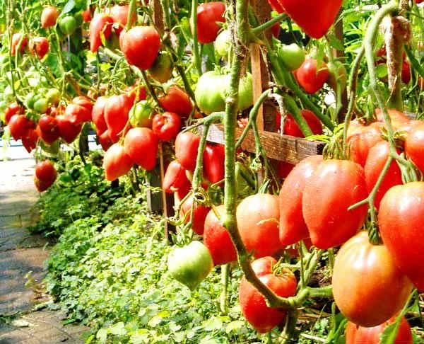 luchshie-sorta-tomatov-dlya-vysadki-v-otkrytyj-grunt