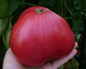 tomat-rozoviy-med