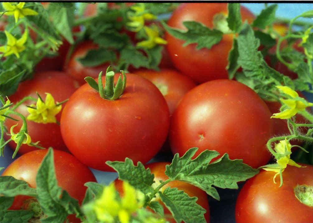 tomaty-belyj-naliv