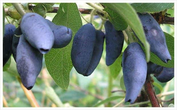 Выращивание жимолости, посадка и уход, популярные сорта