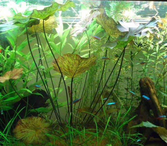 Perekis-vodoroda-dlya-akvariumnyh-rastenij