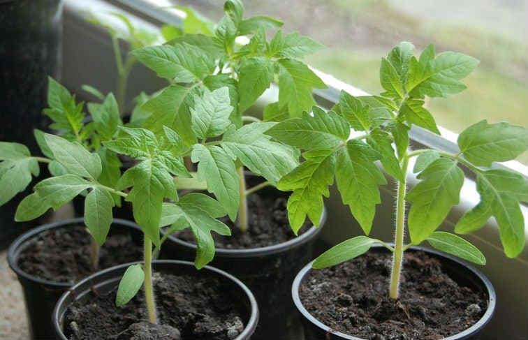chem-podkormit-rassadu-pomidor
