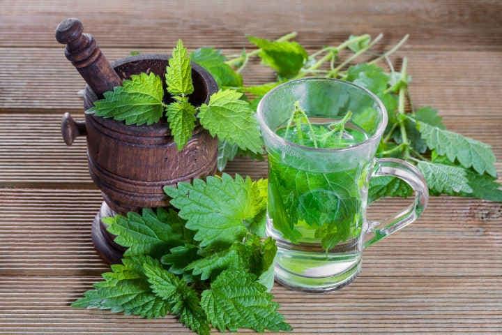 Крапива— лечебные свойства и противопоказания к использованию растения