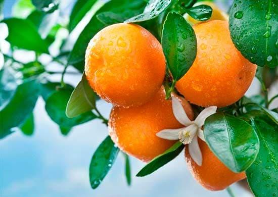 Как вырастить апельсин из косточки дома— цитрусовый сад
