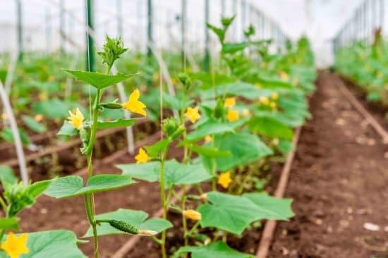 Болезни огурцов и их лечение— спасите зеленый урожай