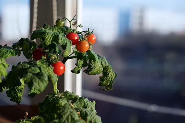 Кусты томатов в квартире