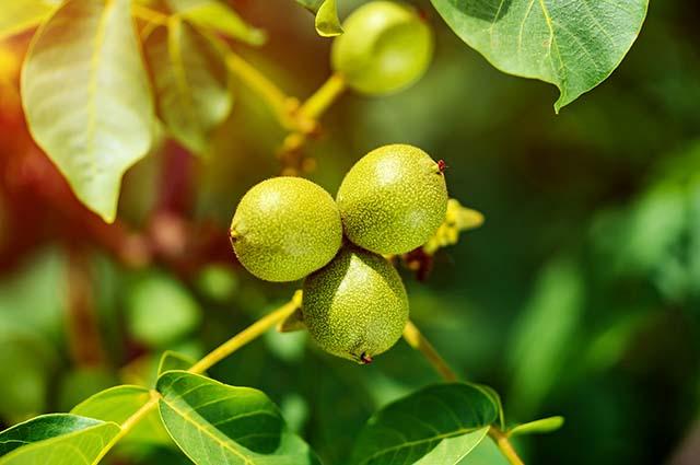 Плоды грецкого ореха на ветке