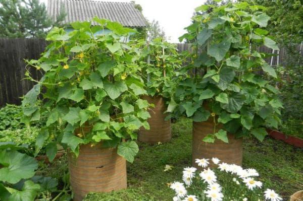 Как вырастить огурцы в бочке, простой и проверенный способ