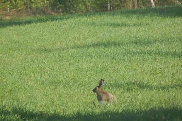 Заяц насторожился