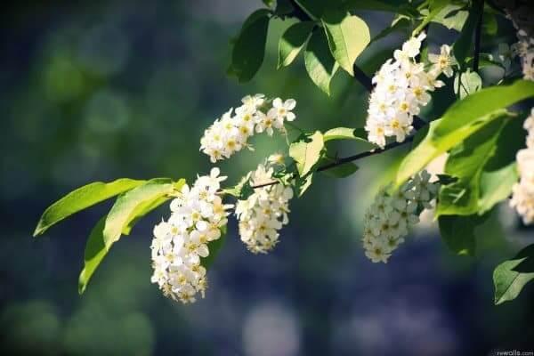 Цветение черемухи