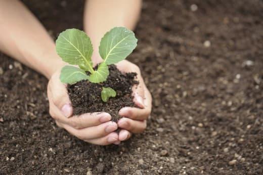 Как выращивать рассаду капусты в домашних условиях, высадка в грунт