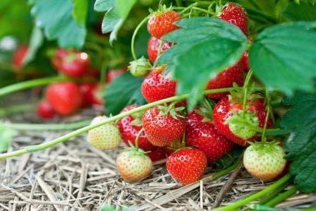 Секреты выращивание клубники в домашних условиях в открытом грунте
