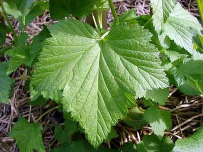 Лист смородины