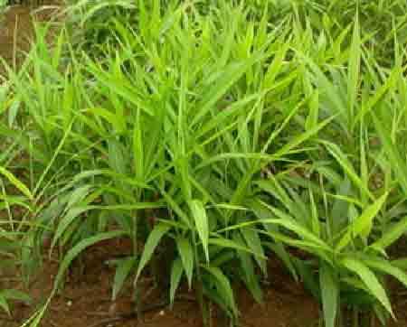 Имбирь в огороде