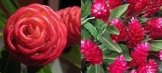 цветет имбирь