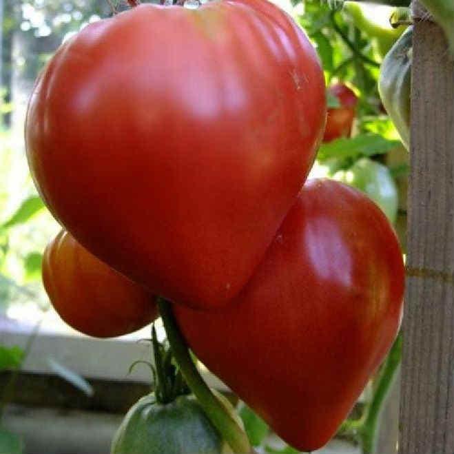 tomat-Orlinoe-serdtse