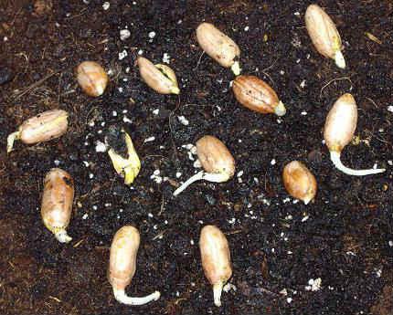 Арахисовые посадки
