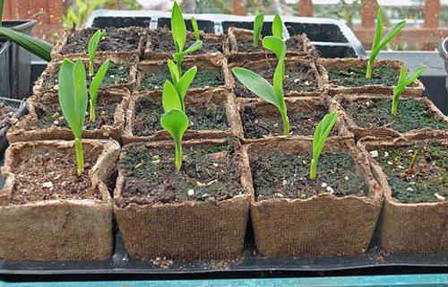 Кукурузные ростки