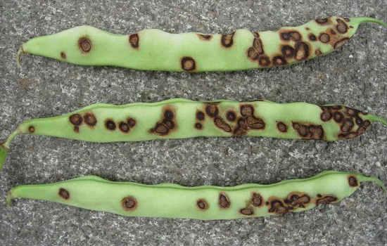 Антрактоз фасоли