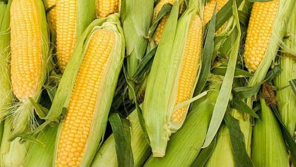 Выращивание кукурузы на даче— королева полей для Нечерноземья