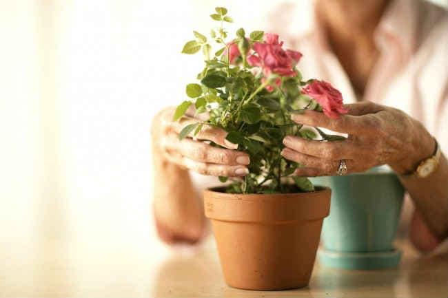 Как вырастить розу из черенка в домашних условиях— практические советы