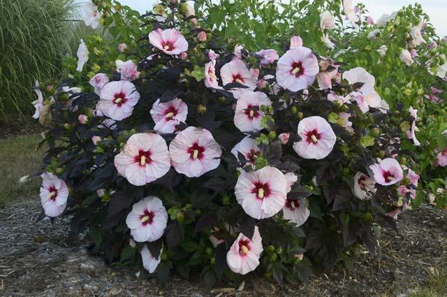Прекрасный гибискус— «цветок страсти»