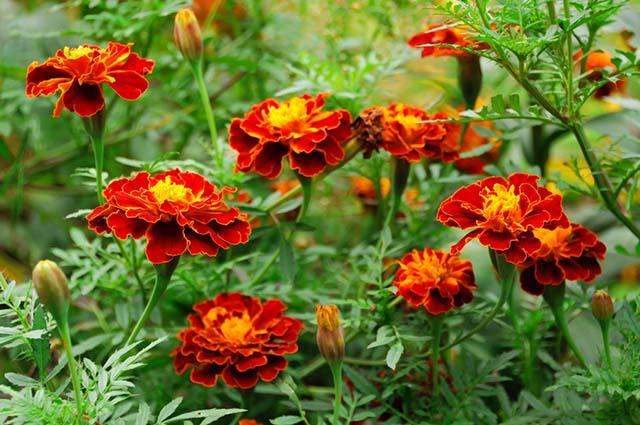 Бархатцы для защиты сада и огорода