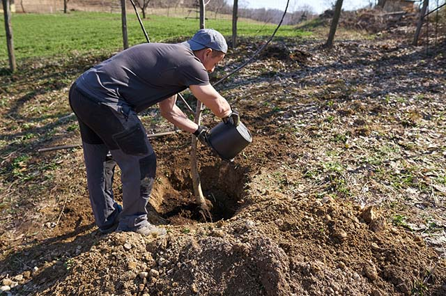Мужчина высаживает ореховое дерево