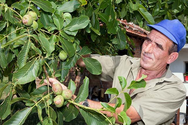 Мужчина собирает урожай грецкого ореха