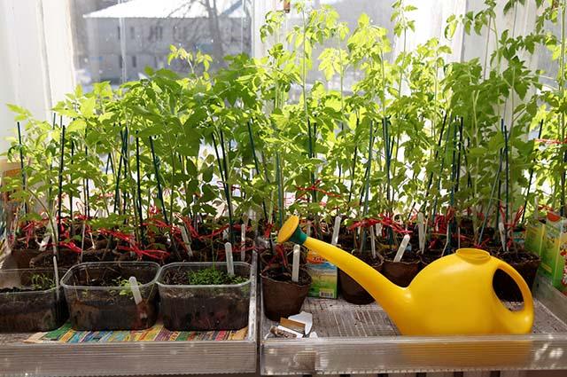 Настой кожуры бананов для подкормки рассады томатов