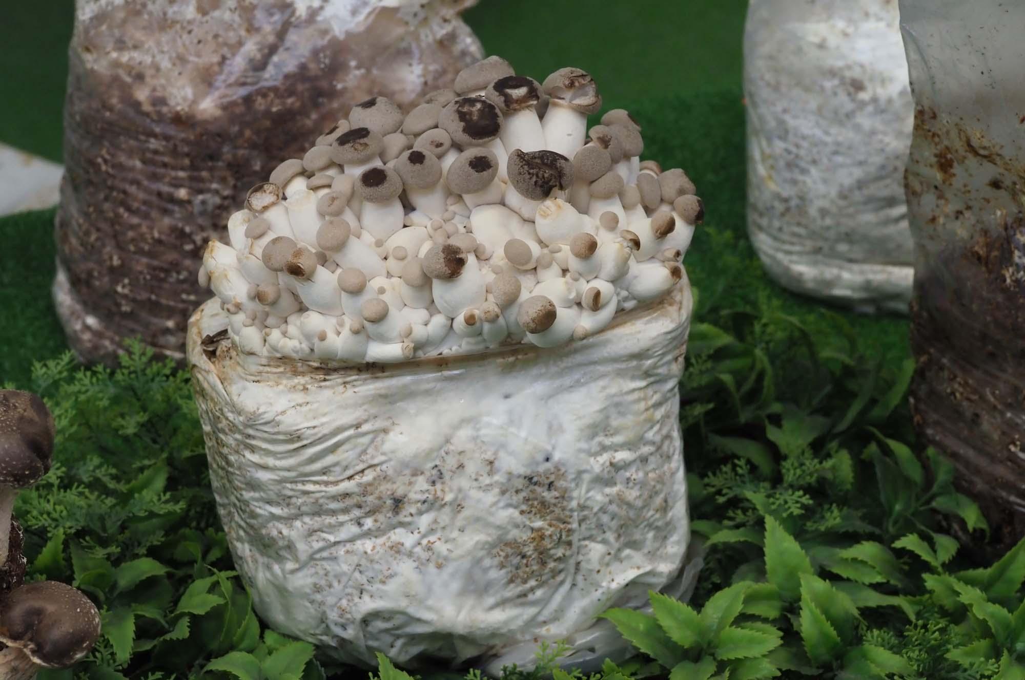 Мицелия гриба шиитаке