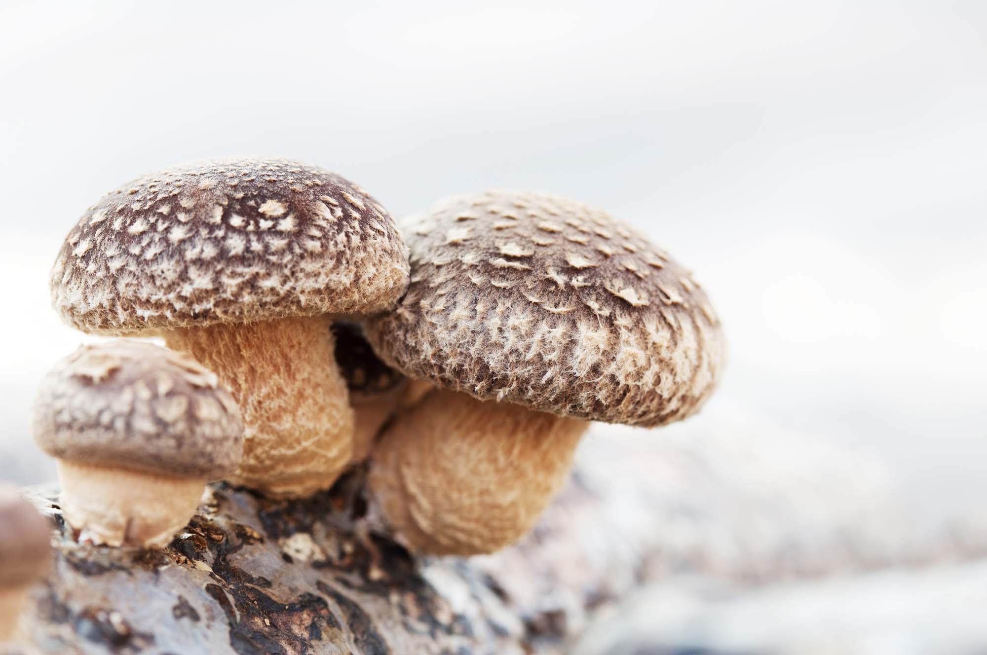 Взрослый гриб шиитаке